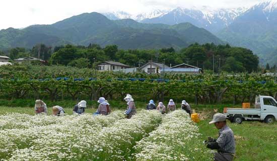 Nagano harb farming
