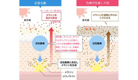 正常な皮膚とシミができる皮膚