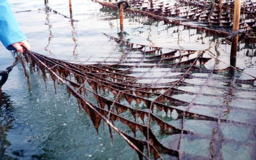 海苔の生産